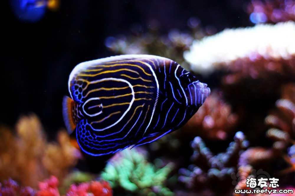 海水神仙鱼变身记-图4