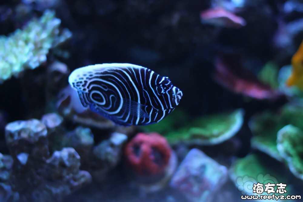 海水神仙鱼变身记-图1