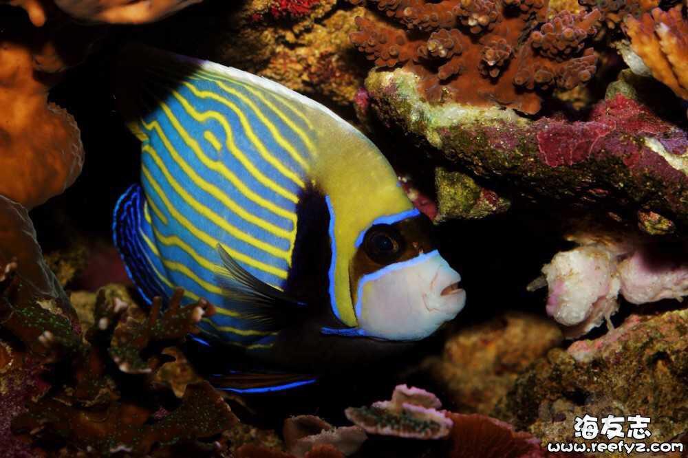 海水神仙鱼变身记-图8