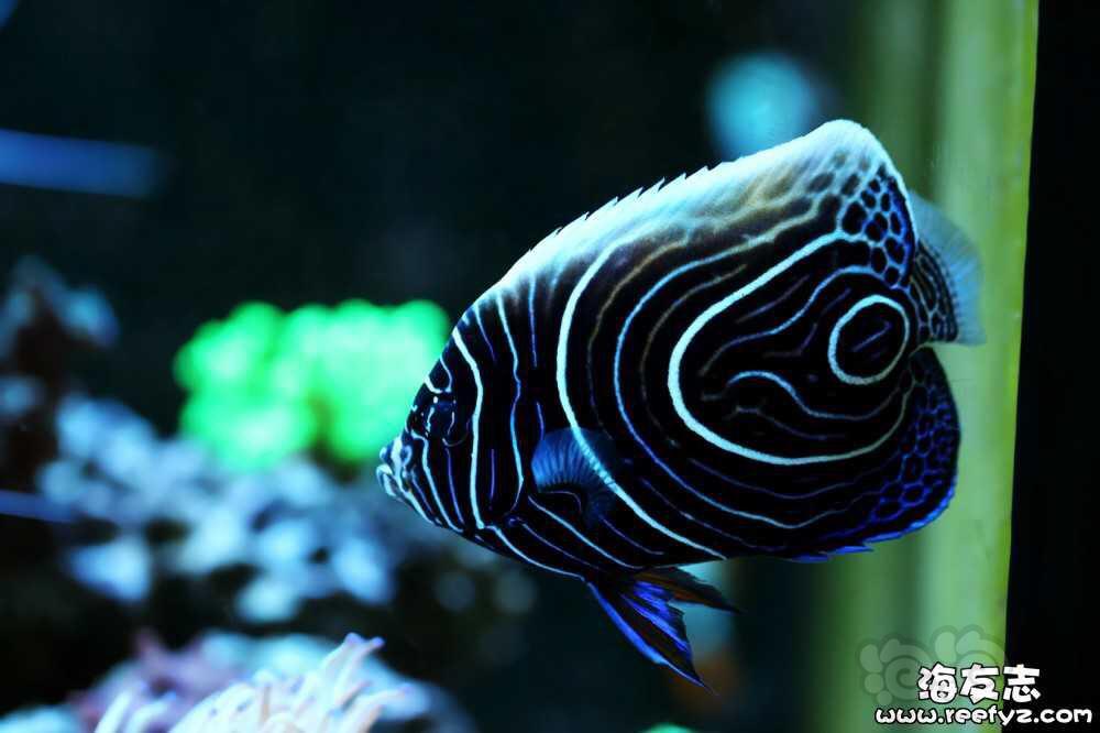 海水神仙鱼变身记-图2