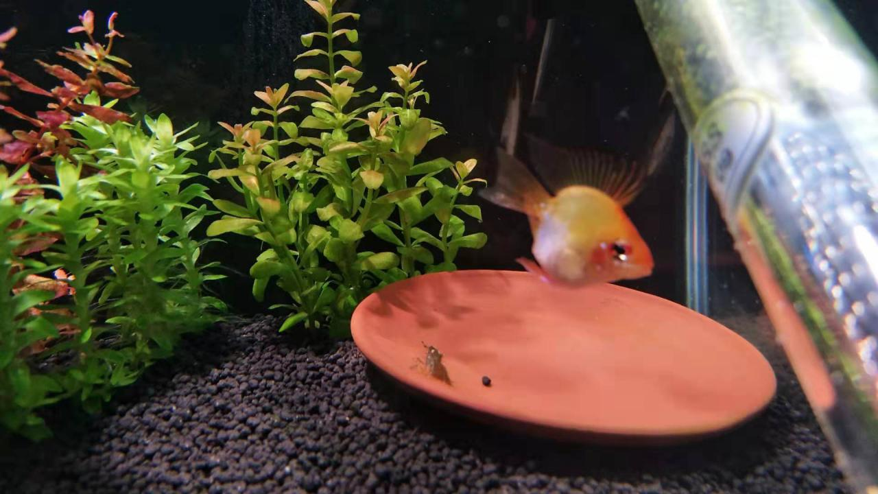 【短鲷】金波子个人的饲养,繁殖及常见急病治疗方式。-图3
