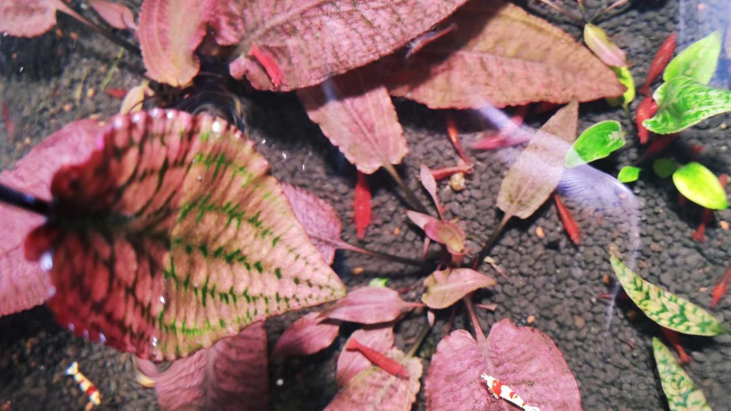 深红盛翠过年就要红红火火-图5