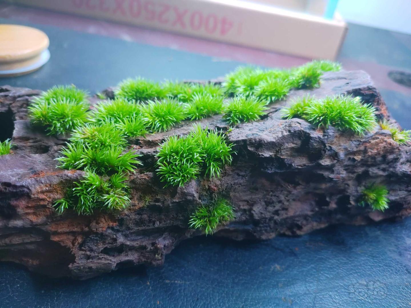 【苔藓】石头长满了,该换块石头重新养了-图3