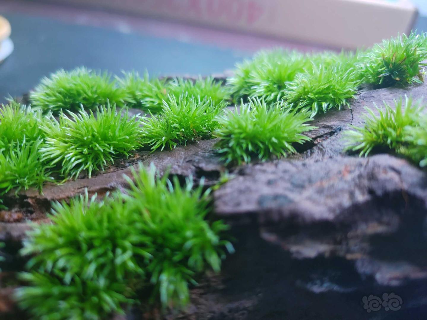 【苔藓】石头长满了,该换块石头重新养了-图5