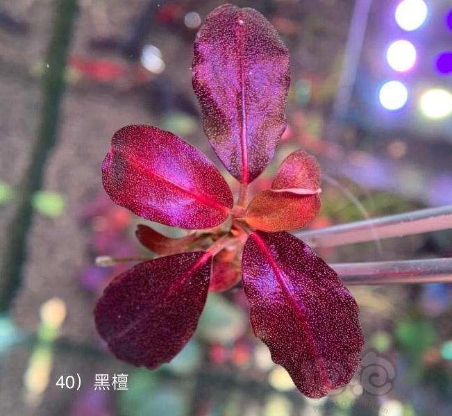 盘点最近几年的网红辣椒榕-图2